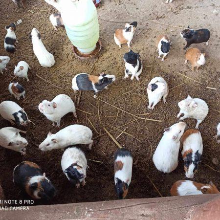 Porquinhos da India Hotel Fazenda Guimaraes - Amelia Rodrigues BA