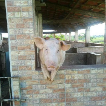 Porco mascote Hotel Fazenda Guimaraes - Amelia Rodrigues BA